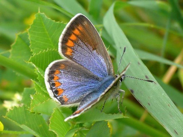 Le farfalle dei nostri poggi
